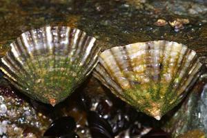Schaalhorens op Engelse rots | © Ecomare, Foto Fitis, Sytske Dijksen