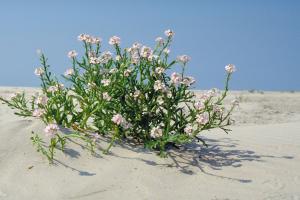 Zeeraket, lila bloemen   © Ecomare
