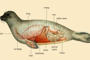 Anatomie van de zeehond   © M. Oberdorff