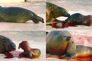 Geboorte van een gewone zeehond (1994)   © Ecomare