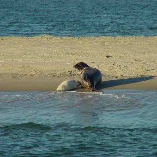 Grijze zeehond | © Ecomare